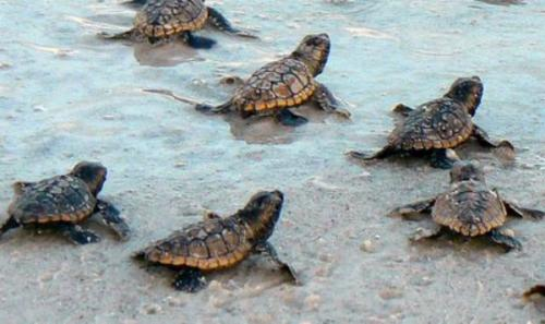 sea tutle hatchlings clearwater beach